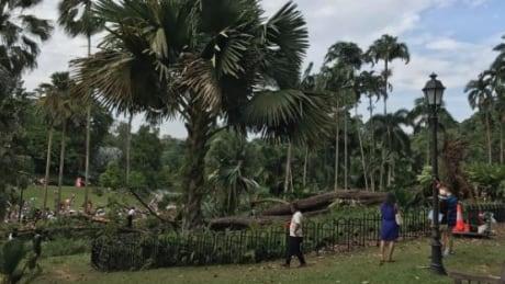 Tree falls at Singapore Canada 150 event