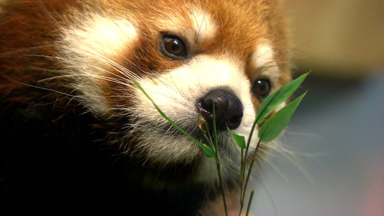 Image of: Endangered Animals The Red Pandas At The Assiniboine Park Zoo Are Part Of The International Species Survival Program The Winnipeg Zoo Has Successfully Bred The Endangered Cbcca Speciessaving Love Sachi The Red Panda Finally Finds Romance At