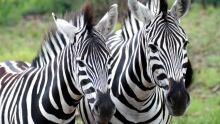 Zebras roam free in Pilanesburg National Park near Sun City, South Africa.