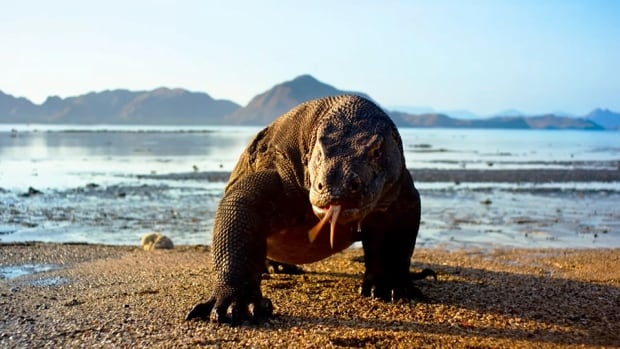 Komodo dragons are the largest lizards on earth and inhabit only a handful of islands in the Indonesian archipelago.