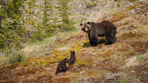 "Grizzly bears are shown in a handout photo for the series Planet Earth II. Bears busting a move in the Canadian Rockies and a rascally raccoon family in Toronto are among the animals profiled in ""Planet Earth II,"" debuting Saturday on BBC Earth."