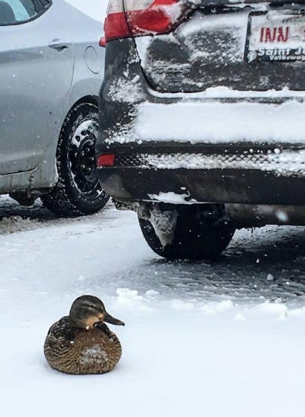 Parking lot duck