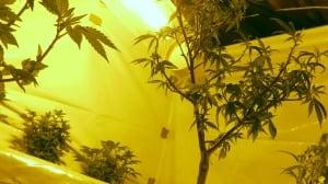 Landlord pays high price for renter's medical marijuana grow-op