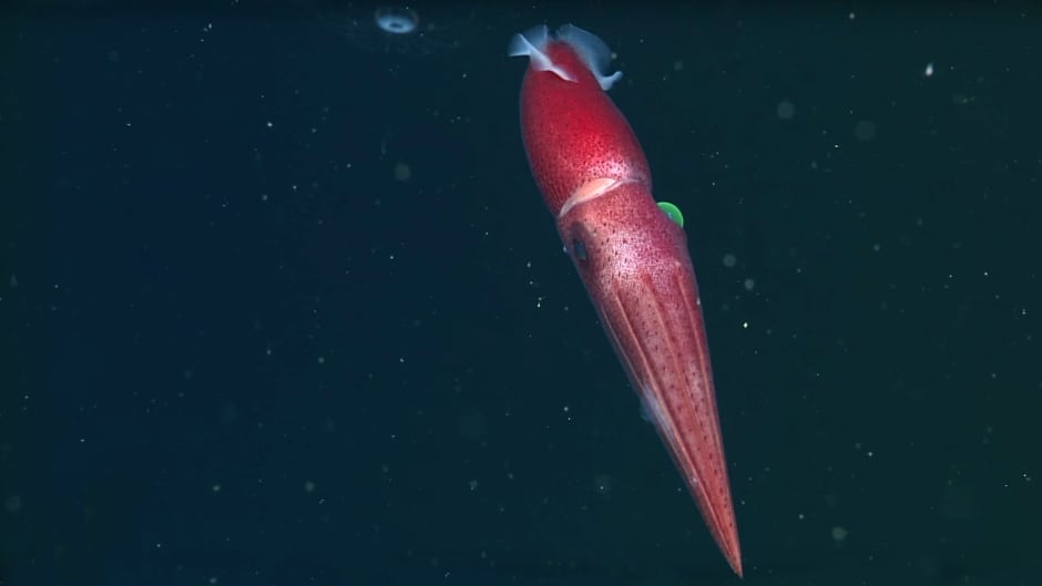 Histioteuthis heteropsis (Cockeyed squid) in the deep waters of Monterey Bay.