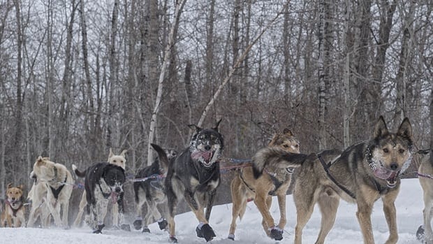 Tuesday, Feb. 21, is race day at the Canadian Challenge dogsled race, which normally runs from Prince Albert to La Ronge but this year will be shortened.