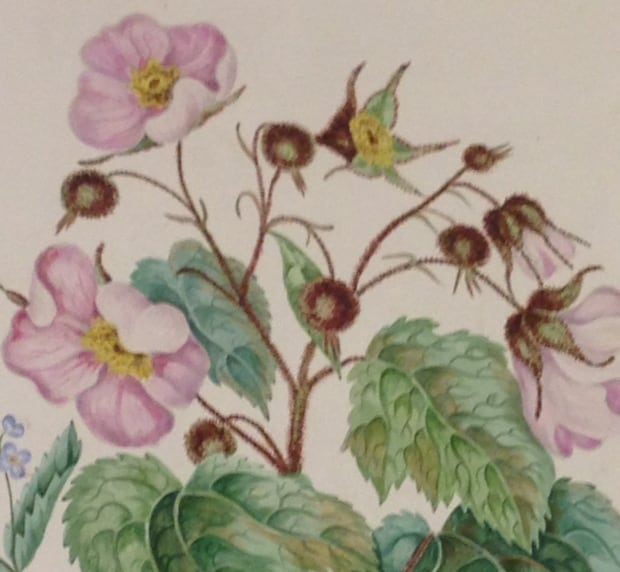 Detail from Canadian Wild Flowers
