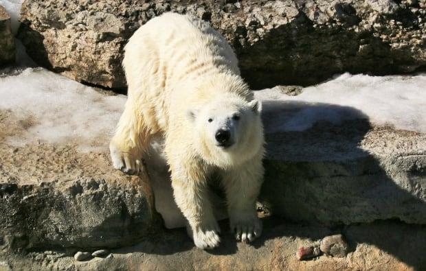 New Polar Bear Resident for Assiniboine Park Zoo