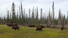 Northwest Territories bison