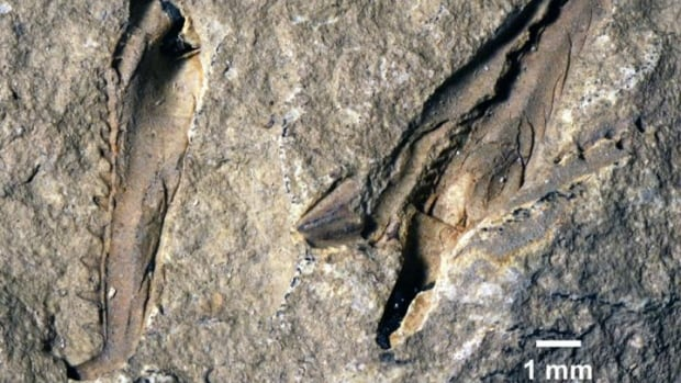 The 400-million-year-old fossil of a species of worm called Websteroprion armstrongi had been in a collection at the Royal Ontario Museum in Toronto since 1994 but has only recently been closely studied.