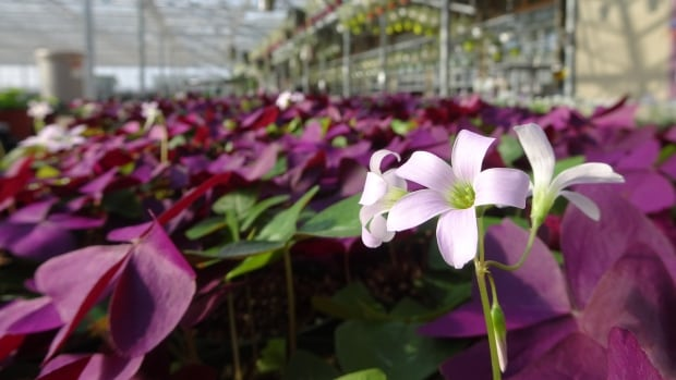 Already flowers springing up in Edmonton-area greenhouses.