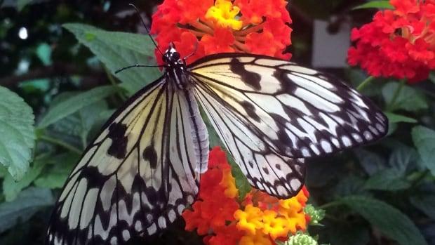 butterflies/IMG_0088.jpg
