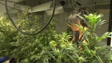 Legal grow-op costs landlord his insurance