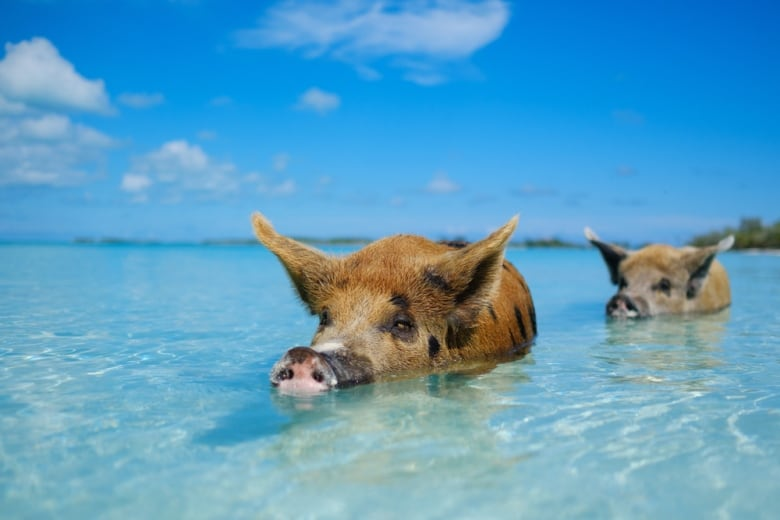 Bahamas' famous swimming pigs found dead — and tourists may