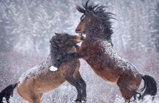 horses play big mane