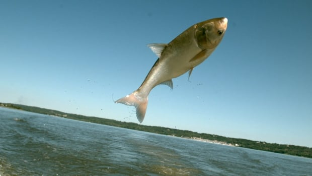 Asian carp is an invasive species of fish that out-eats other species, making it difficult for native species to survive.