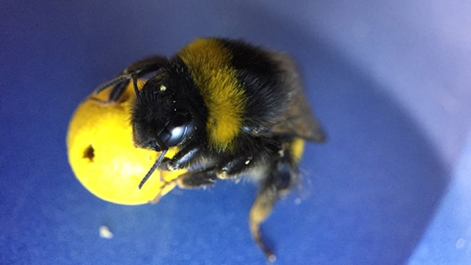 A bumblebee rolling a ball on the way to a sweet reward.