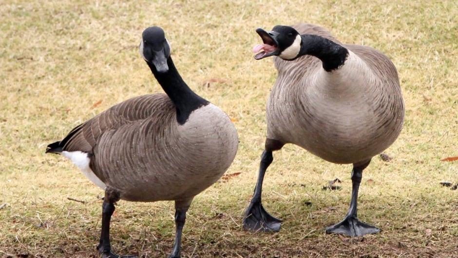 K 9 Goose Control New Jersey town stops ...