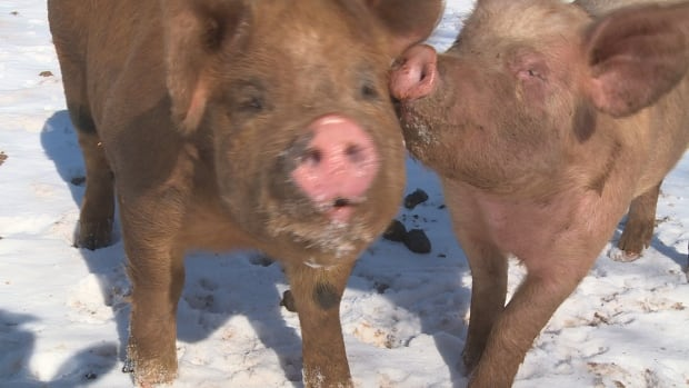 The Dundas Plowing Match and Agricultural Fair made the decision to cancel its pig scramble Monday.