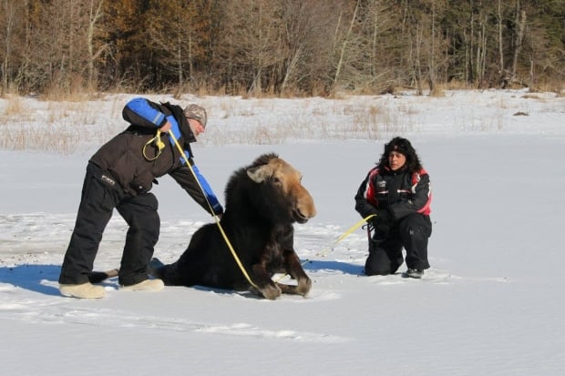 Moose on ice 2
