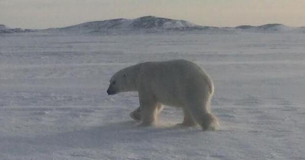 Polar bear Black Tickle