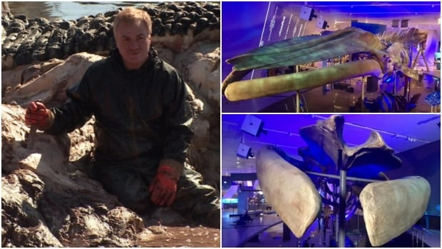 Mark Engstrom spent five days sitting amid the guts of a blue whale that died on Newfoundland's west coast in 2014. Now, the whale's bones are ready to be unveiled at the Royal Ontario Museum.