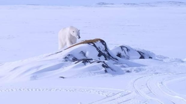 Entertainer Sherman Downey snapped this picture of a polar bear in Black Tickle on Tuesday.