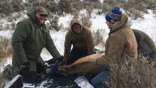 Bighorn sheep mange trial