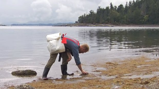 Researchers who have been testing oysters from different parts of the B.C. coast are finding microplastic fibres in almost every one of shellfish samples.