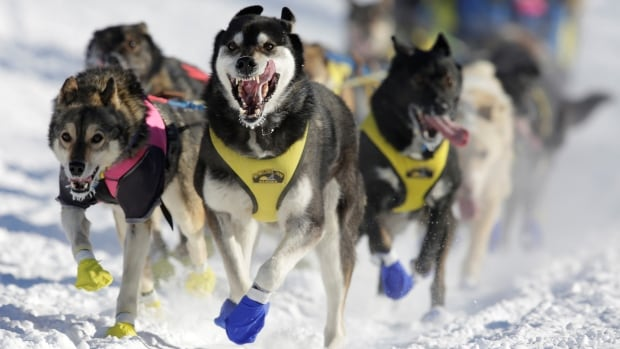 A dog team sets off down the trail at the start of the 2017 Iditarod, in Fairbanks, Alaska, last March. A spokesperson for Wells Fargo said he could not discuss specific reasons for the bank's decision to stop sponsoring the race.