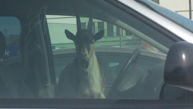 Ann McNab snapped this photo of a goat patiently waiting in a minivan in the parking lot of the Riverside campus of the Ottawa Hospital on Monday morning.