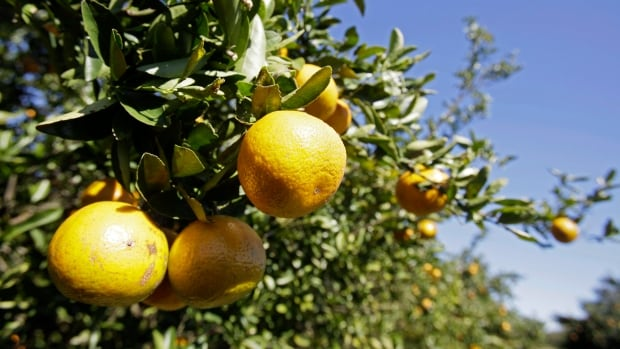 Citrus growers in California backed Monsanto in in its bid to block a regulation that would label Roundup as a cancer risk.