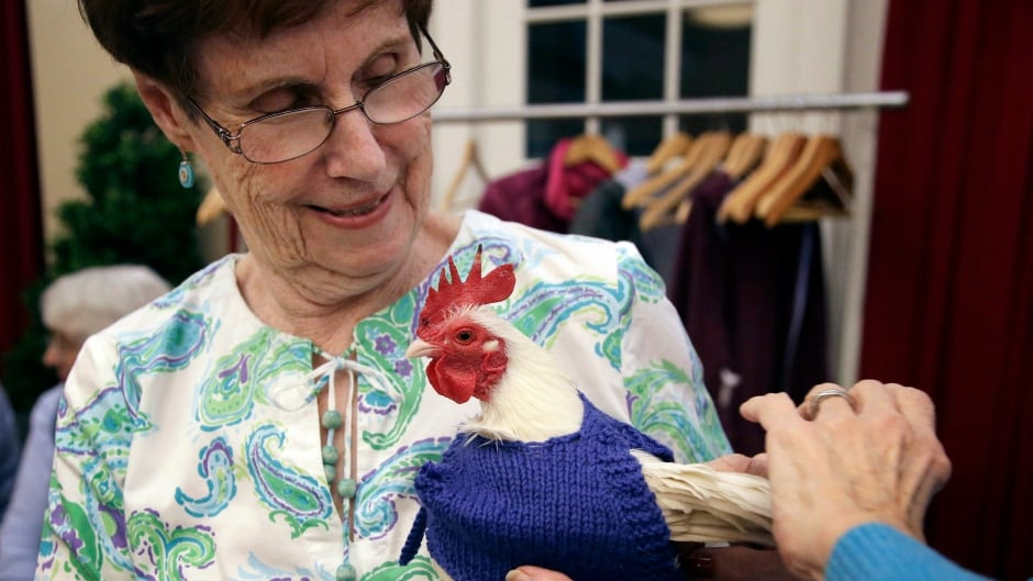 Nancy Kearns, as resident of Fuller Village retirement home holds a rooster native to Malaysia as the bird is fitted with one of the sweaters she and her knitting group made for them.