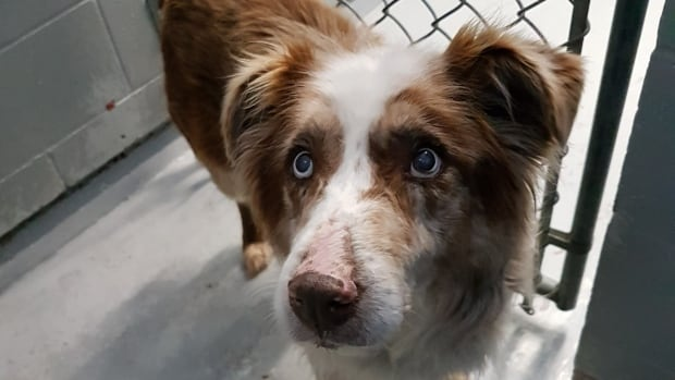 The seized dogs were primarily Australian shepherds and mixed breeds.
