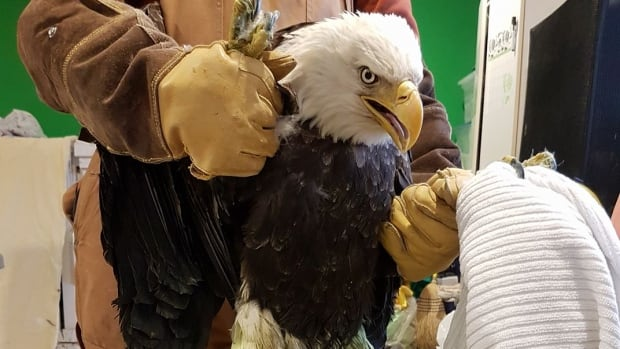 This was the third lead-poisoned eagle in three weeks brought to the Cobequid Wildlife Rehabilitation Centre in Truro.