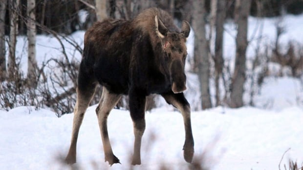 A bull moose whose antlers recently dropped walks toward hikers near Connors Bog in Anchorage, Alaska on Mar. 6. Confrontations between moose and Alaska residents are leading wildlife officials to warn people to give the animals some distance. The department says moose are nutritionally stressed and probably tired from the long Alaska winter.