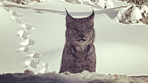 This lynx was spotted by Kelowna's Tracy Campbell on the west side of Big White Ski Resort in B.C. on Saturday, March 11.