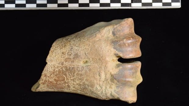 A 130,000 year old bison fossil was found near Old Crow, Yukon in 2006. Researchers used the fossil to help determine when the first bison arrived on the continent from Asia.