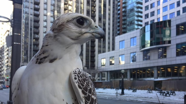 Meet Juliet, the falcon making Pearson Airport a little