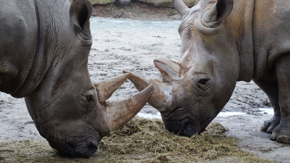 These rhinos at the Dvur Kralove zoo in the Czech Republic will soon have their horns cut off with a chainsaw — for their own protection.