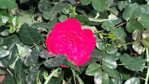 The Canadian Shield Rose, designed by the Vineland Research and Innovation Centre, can withstand temperatures of minus 40.