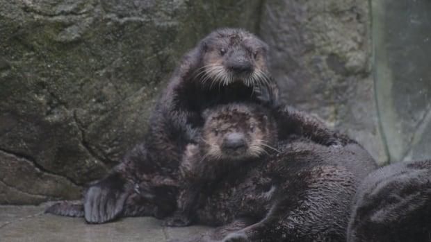 Sea otter pups meet adult sea otter Tanu