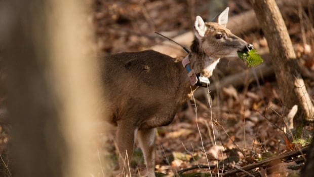 New collars will monitor deer movements, contributing to study that will inform a birth control strategy to reduce the overall population.
