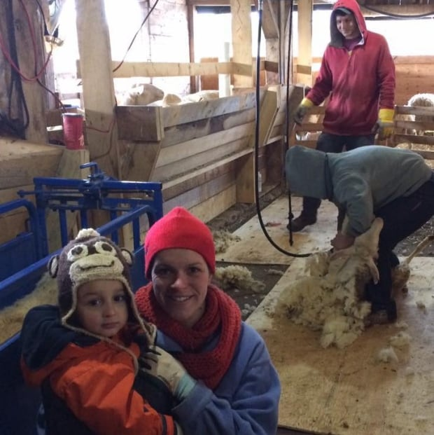 Sheep business shearing