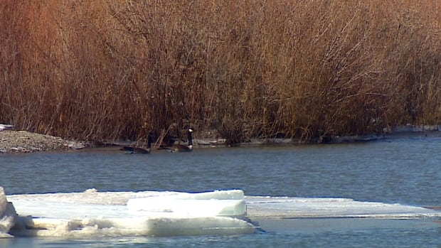 A pair of Canada Geese are spotted swimming in the Bow River, which is beginning to thaw now that temperatures have warmed mid-March.