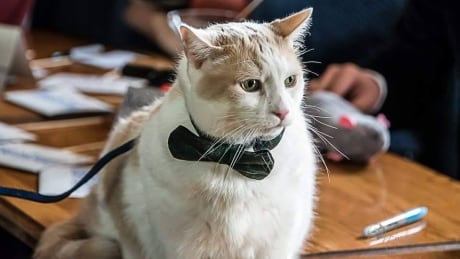 Spy kitties in bow ties glam up Dawson City Cat Show