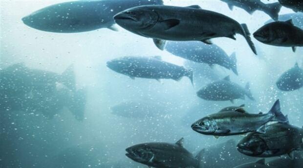 farmed Pacific salmon - NOT ATLANTIC