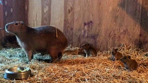 The capybara mother and her babies are seen at the High Park Zoo last month.