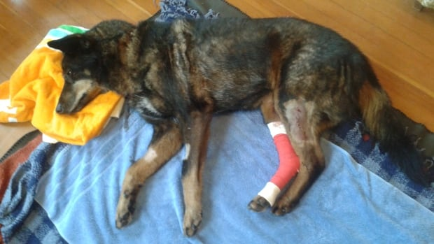 Chester was attacked by a wolf near Ucluelet, B.C. on Tuesday evening, but is expected to make a full recovery.