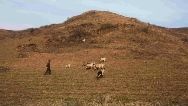 In a 2011 file photo, a herder walks with goats on a hillside outside of Kaesong, North Korea. North Korea's perennial food shortage is leading to chronic food insecurity and early childhood malnutrition, but international donations have seen a 'radical decline,' the UN says.