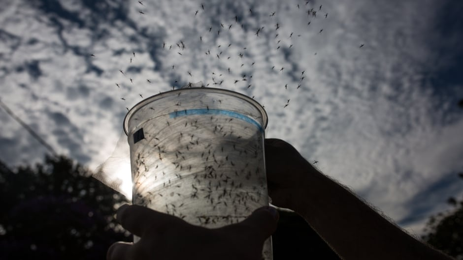A biologist releases genetically modified mosquitoes in the city on February 11, 2016 in Piracicaba, Brazil.